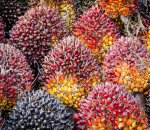 Palm oil fresh fruit bunches