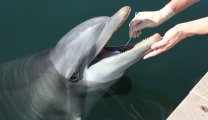 A U.S. Navy dolphin opens its mouth for a swab to collect bacterial samples.