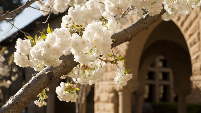 Spring blooms in the courtyard near History Corner, Stanford University.