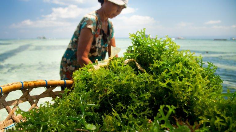 A woman farming seaweed in Indonesia.