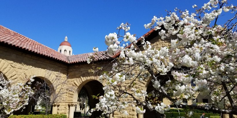 cherry blossoms at stanford