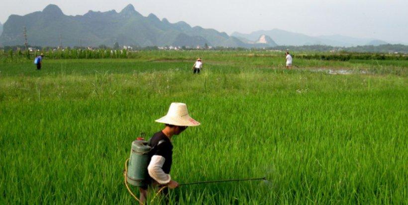 china nitrogen fertilizer rice resize