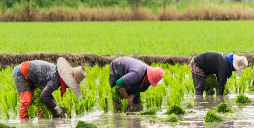 china rice field workers