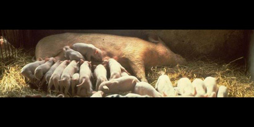 pigs hl