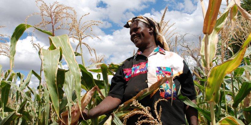 Kenya droughttolerant maize CIMMYT hl
