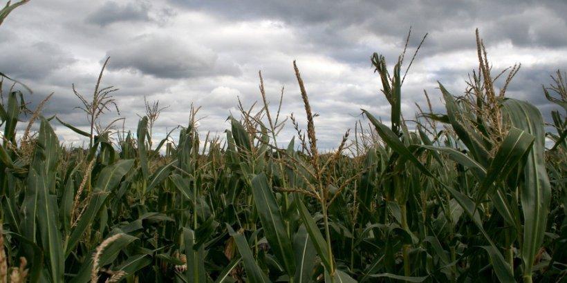 corn ScottStamile