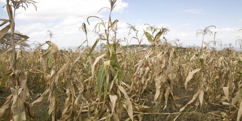 dry corn hl