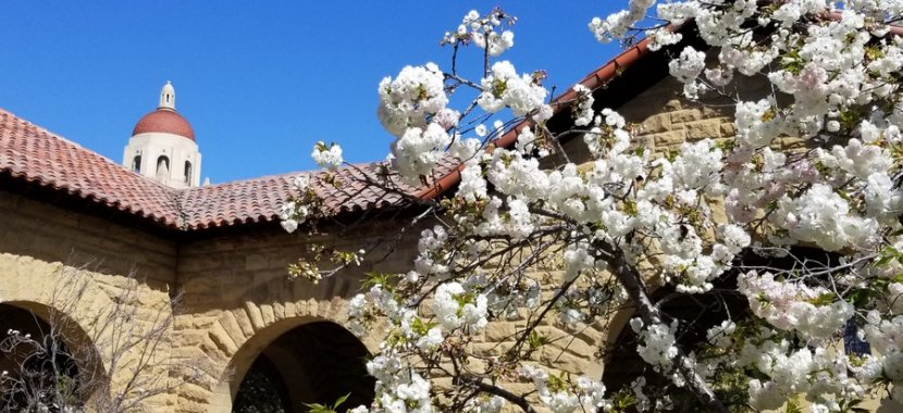 Cherry blossoms at Stanford University