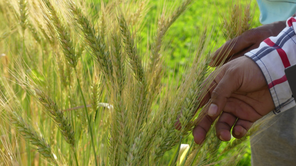 A hand feeling a wheat crop