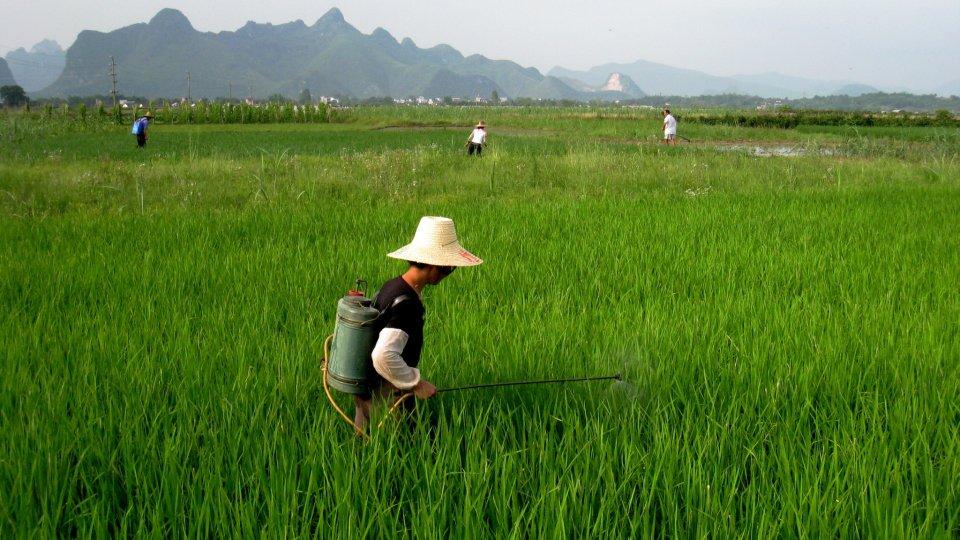 china nitrogen fertilizer rice