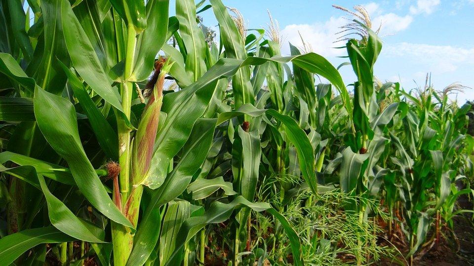 Green corn crops growing in a field