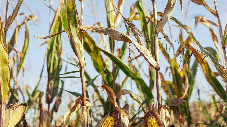 Two corn plants growing in a field of dry corn