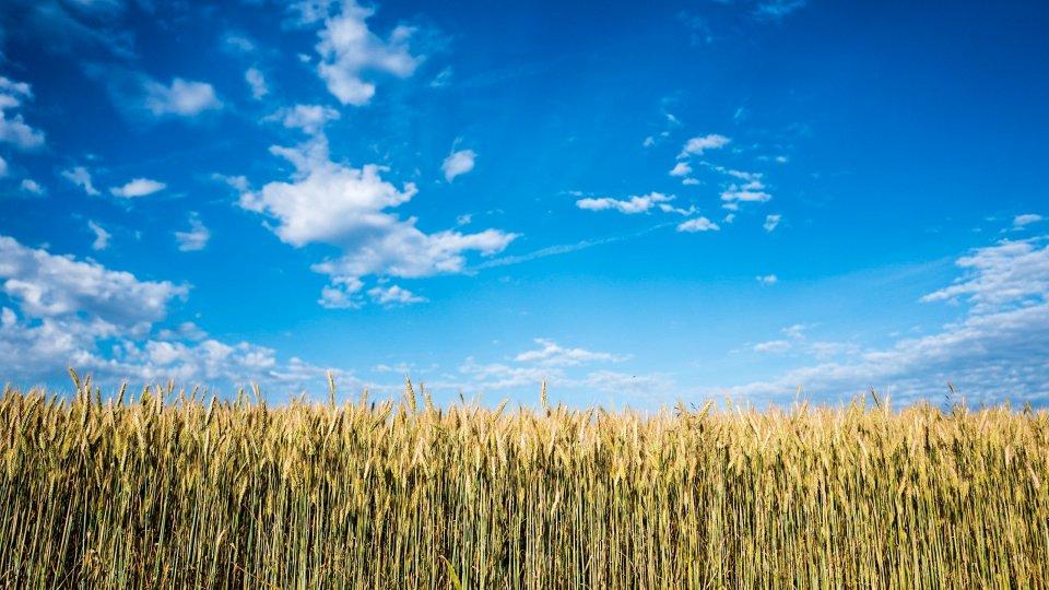Field of tall dry corn