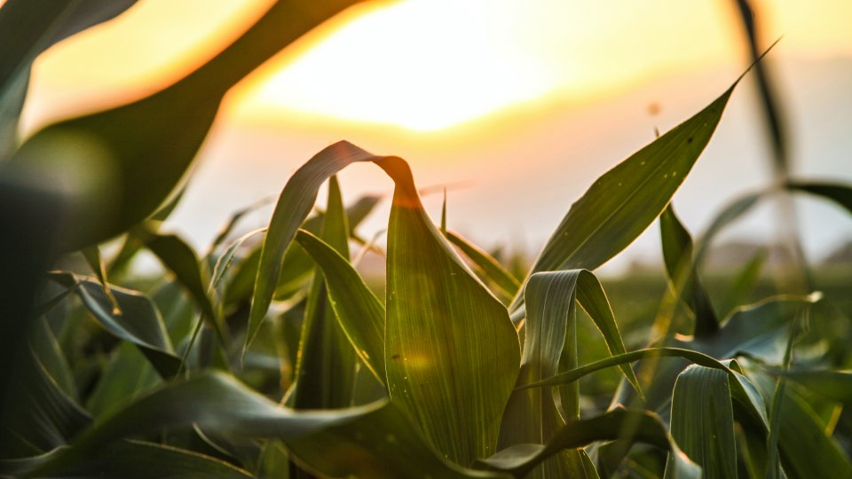 Leaves of a corn plant in the setting sun