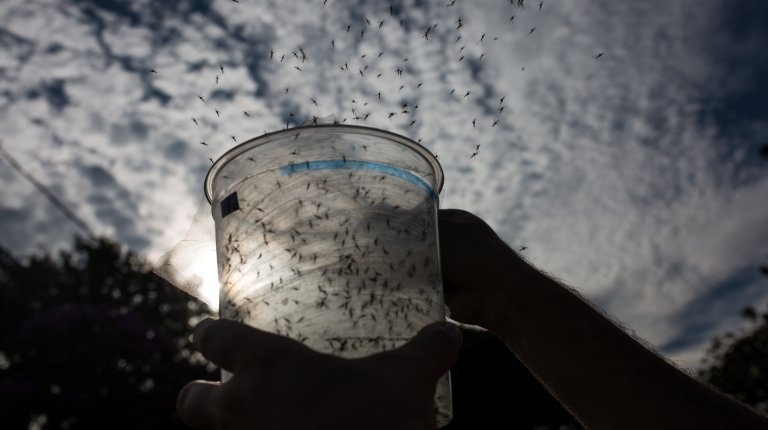 Mosquitoes being released