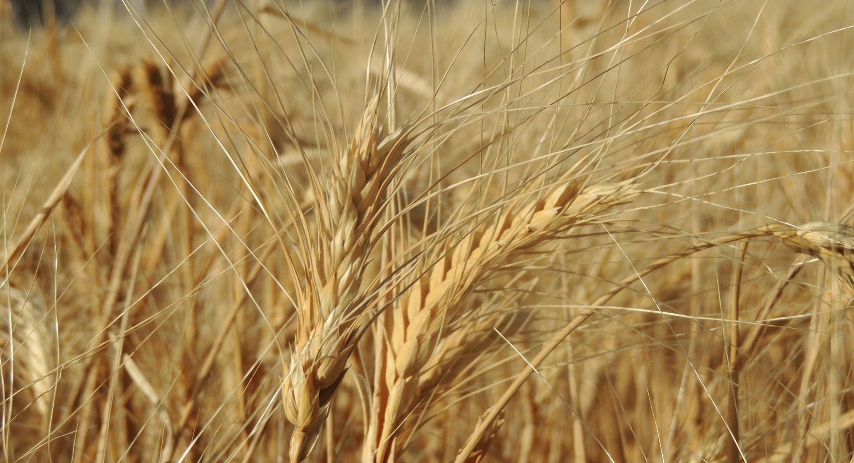 Wheat closeup hl