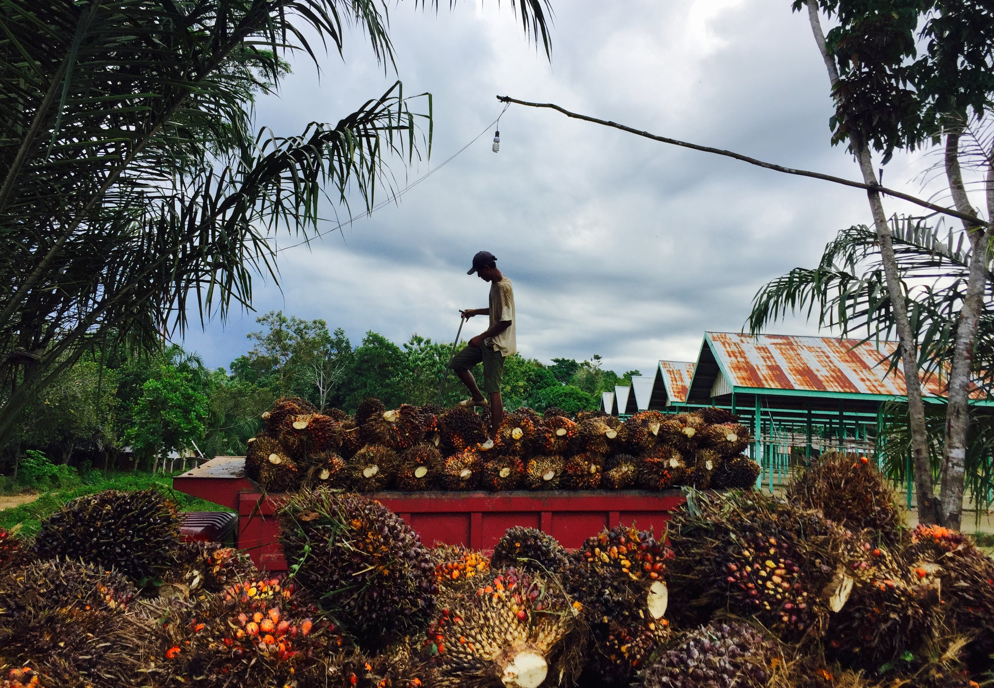 A worker in East Kalimantan, Indonesia, loads palm fruit for transport to a factory that will process it into palm oil (Image credit: Joann de Zegher)