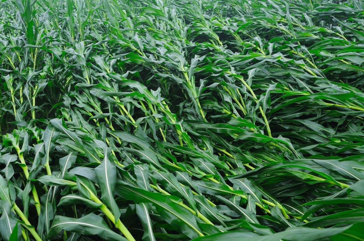 windblown corn resized