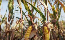 Dry corn plants in the field