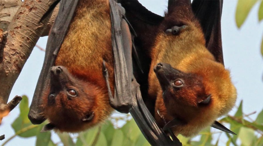 Two bats hanging upside down
