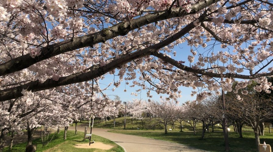 Sakura (cherry blossoms) in Kobe City
