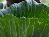 cabbage boy