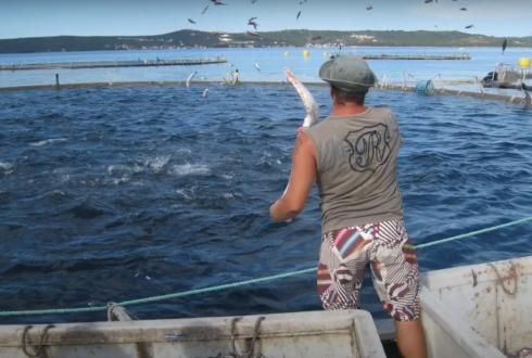 A man throwing food into an aquaculture pen