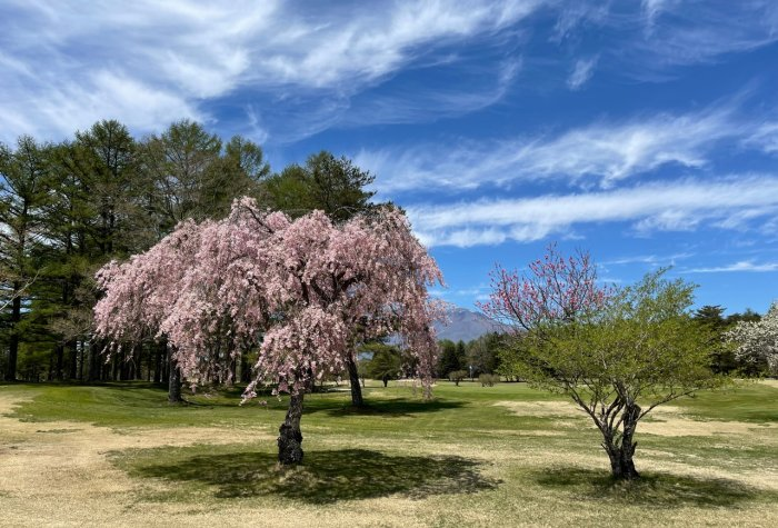 Cherry blossoms in bloom in Karuizawa, Japan