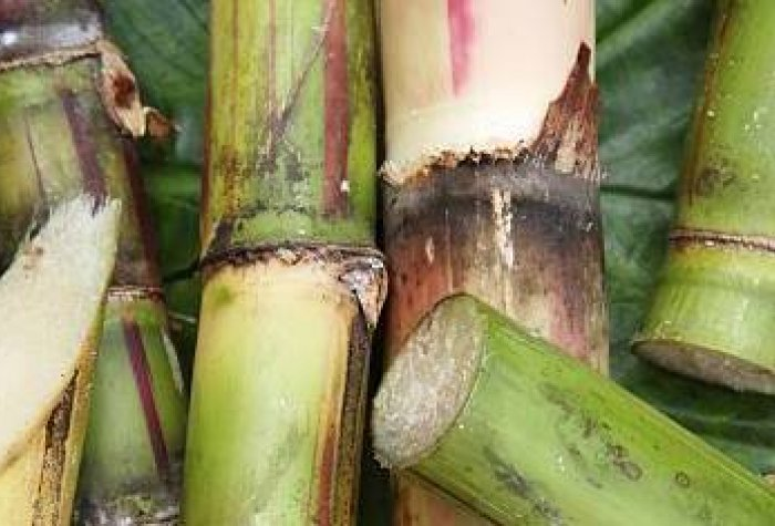 Freshly cut pieces of sugarcane. (Image credit: iStock / Getty Images)