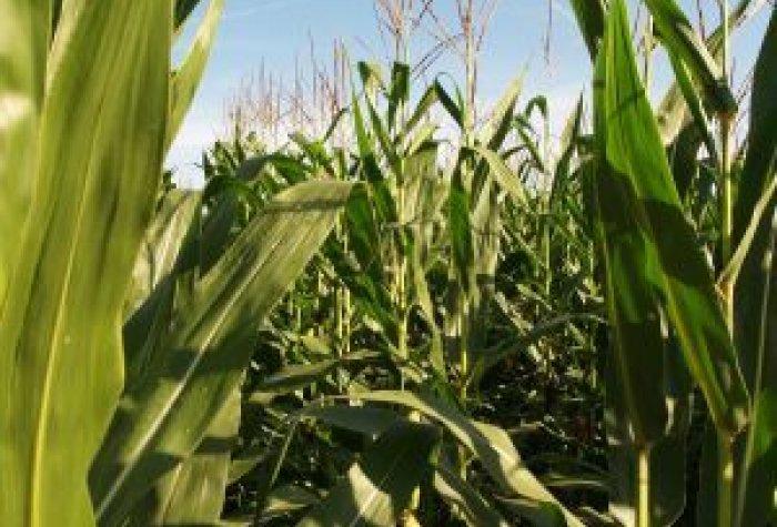 CU Corn listview