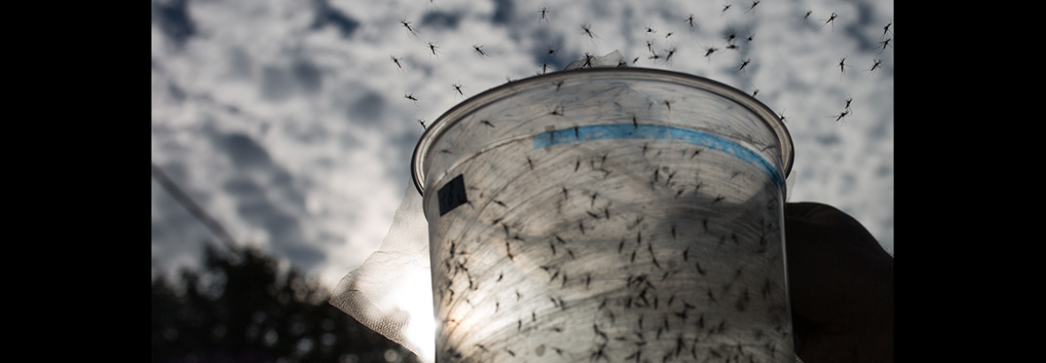 releasing genetically-modified mosquitoes